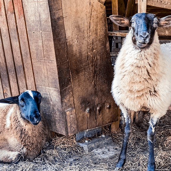 De schapen van Hoeve Sprey